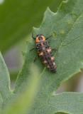 7-prickig nyckelpiga (Coccinella septempunctata)
