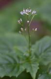 Dvärghäxört (Circaea alpina)