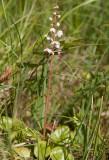Vitpyrola (Pyrola rotundifolia)