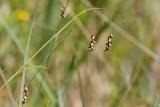 Hårstarr (Carex capillaris)