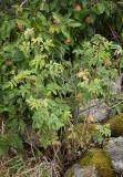 Kyrkogårdsros (Rosa × francofurtana)