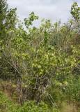 Kungsschersmin (Philadelphus pubescens)