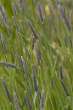 Svartkavle (Alopecurus arundinaceus)