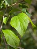 Kameliaschersmin (Philadelphus × virginalis)