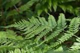 Lundbräken (Dryopteris dilatata)