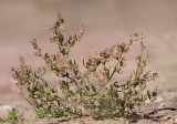 Östersjömålla (Chenopodium striatiforme)
