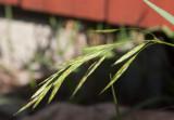 Sloklosta (Bromus sitchensis)
