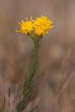 Gullborste (Crinitaria linosyris)