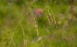 Hänggräs (Arctophila fulva)