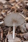 Dunfotad bläcksvamp (Coprinus lagopus)