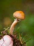 Rostbrun grynskivling (Cystodermella granulosa)