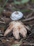 Kantjordstjärna (Geastrum striatum)