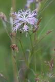 Praktnejlika (Dianthus superbus)