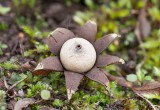 Rulljordstjärna (Geastrum corollinum)