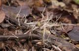 Hög trådklubba (Typhula phacorrhiza)