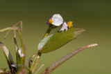 Trubbpilblad (Sagittaria natans)
