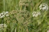 Sprängört, smal (Cicuta virosa var. angustifolia)