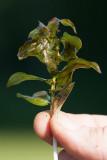Gräsnate (Potamogeton gramineus)