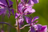 Mjölke (Chamaenerion angustifolium)