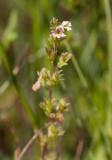 Klapperögontröst (Euphrasia frigida var. baltica)