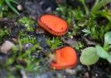 Ögonskål (Scutellinia scutellata)