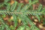 Hybrididegran (Taxus × media)