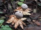 Mörk jordstjärna (Geastrum coronatum)
