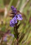 Toppfrossört (Scutellaria hastifolia)