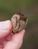 Stäppröksvamp (Lycoperdon decipiens)