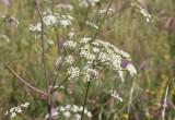 Backsilja (Peucedanum oreoselinum)