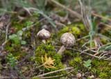 Stjälkröksvamp (Tulostoma brumale)