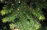Nikkogran (Abies homolepis)