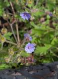 Svedjenäva (Geranium bohemicum)