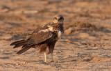 Eurasian Marsh-Harrier (Circus aeruginosus)