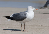 Heuglin´s Gull (Larus heuglini)