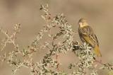 Rüppel´s Weaver (Ploceus galbula)
