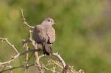 Laughing Dove (Streptopelia senegalensis)