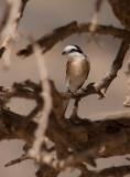 Masked Shrike (Lanius nubicus)