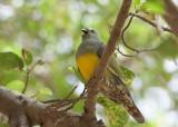 Bruce´s Green-Pigeon (Treron waalia)