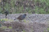 California Quail (Callipepla californica)