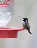 Costa´s Hummingbird (Calypte costae)