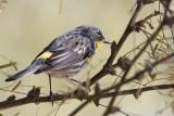 Yellow-rumped Warbler (Audubon´s) -  (Setophaga coronata auduboni)