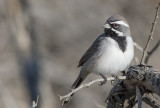 Black-throated Sparrow (Amphispiza bilinear)