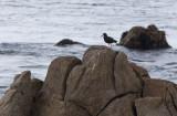 Black Oystercatcher (Haematopus bachmani)