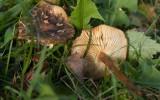 Blek vinterskivling (Flammulina fennae)