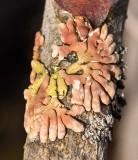 Trollhand (Hypocreopsis riccioidea)