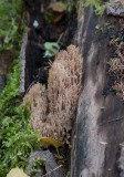 Kandelabersvamp (Artomyces pyxidatus)