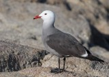 Heermann´s Gull (Larus heermanni)