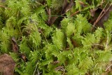 Kammossa (Ptilium crista-castrensis)