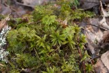 Palmmossa (Climacium dendroides)